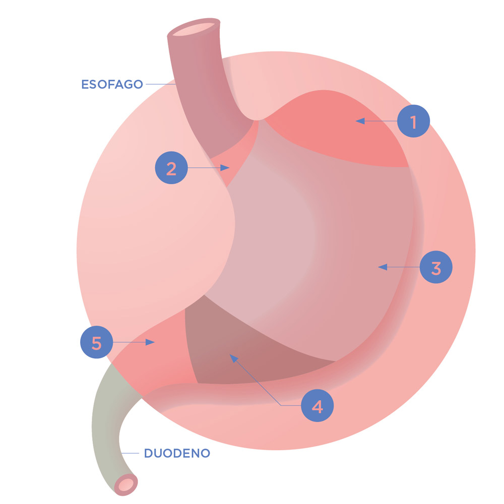 Illustrazione dello Stomaco